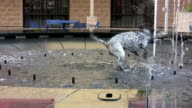 Dog Playing in fountain video