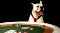 HD DOLLY: Dog Playing Poker video