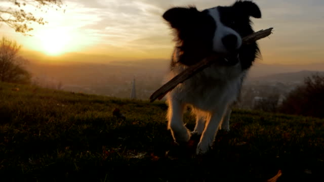 A dog playing with its stick in slow motion sunset video