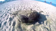 Dog plays turning on beach sand SLOW MOTION video