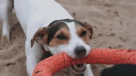 Dog plays with a toy on the beach video