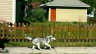 Dog pulling man on skateboard, slow motion video