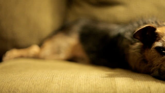 Dog resting on sofa video