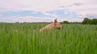 SLO MO Dog running among green barley ears video
