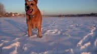 Dog Running at Low Camera in Snow video