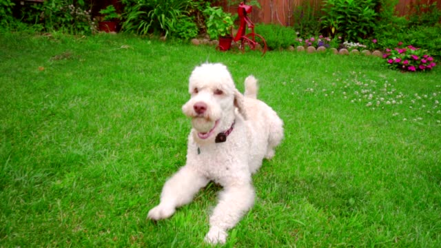 Dog running grass. Labradoodle with ball on backyard. Pet playing on green lawn video