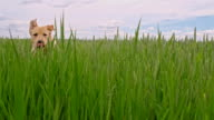 SLO MO Dog running in a field of green barley video