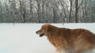 HD STEADY SLOW MO: Dog Running In Deep Snow video