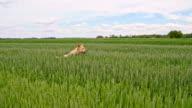 SLO MO Dog running in field among green barley video