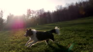 A dog running in park in sunset slow motion video