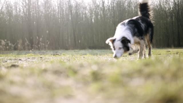 Dog running in park video
