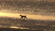 Dog running on the beach - HD & PAL video