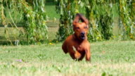 HD - Dog running. Slow motion video
