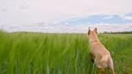 SLO MO Dog running through the barley video