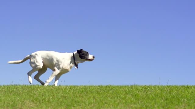 Dog Running video