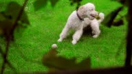 Dog scratching on green grass. White Labradoodle itching on lawn video