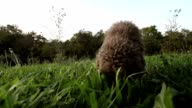 Dog searching truffles video