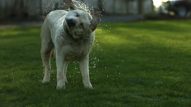 Dog shaking off water, slow motion video