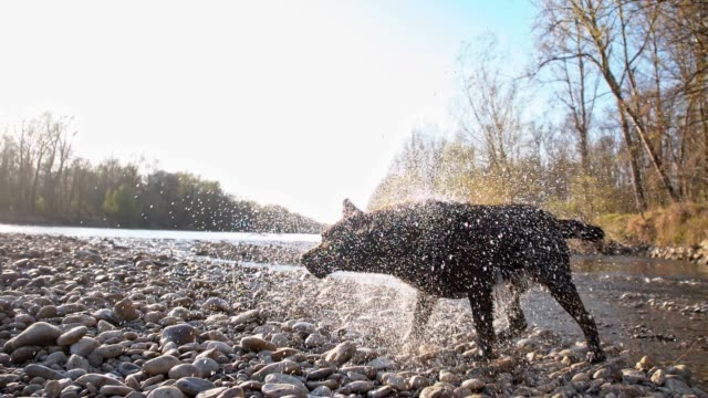 SLO MO Dog shaking off water video