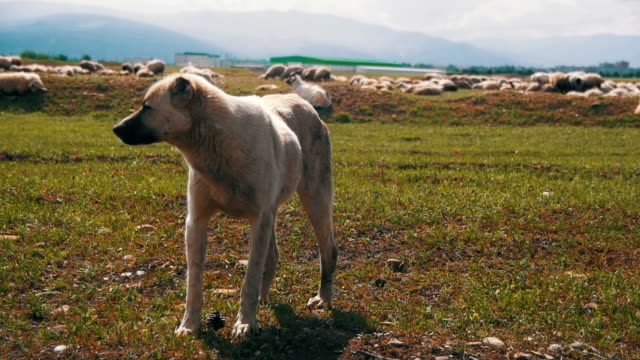 Dog Shepherd Grazing Sheep in the Field. Slow Motion video