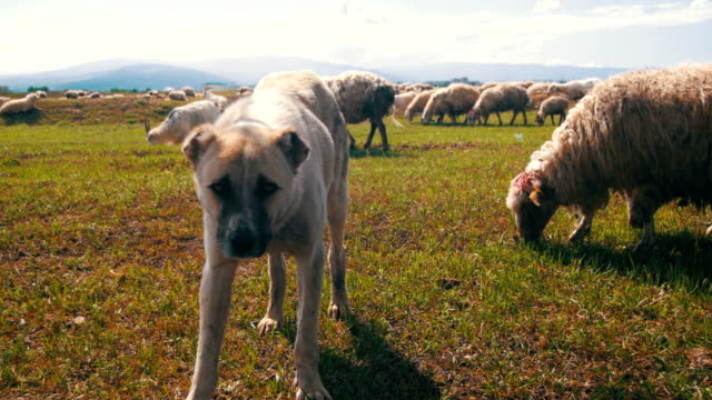 Dog Shepherd Grazing Sheep in the Field video