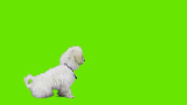 Dog shows paw in greenscreen video