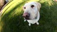 Dog sitting in grass, fisheye perspective video