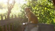 dog sitting on a chain in a box behind sunlight green background slow motion video video