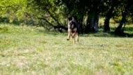 Dog trainer and German Shepherd video