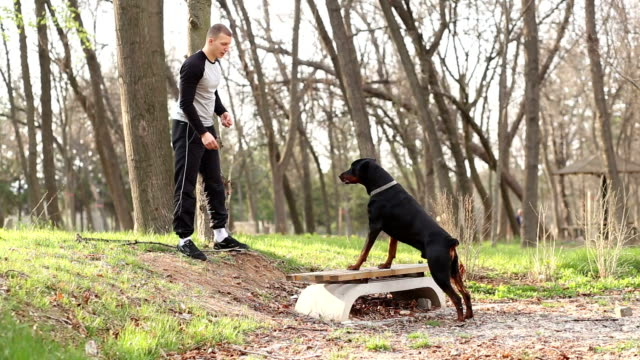 Dog trainer feeding and doing exercise with Doberman Pinscher video