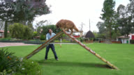 Dog trainer teaching the dog to walk through a ramp fast video
