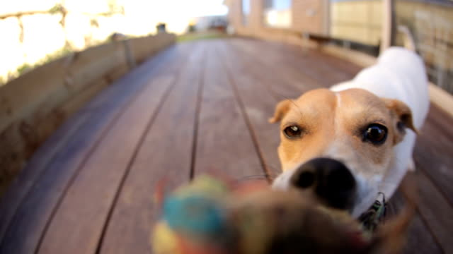 Dog tug-of-war HD  gets a surprise video