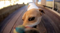 Dog tug-of-war HD video