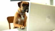Dog using laptop computer video