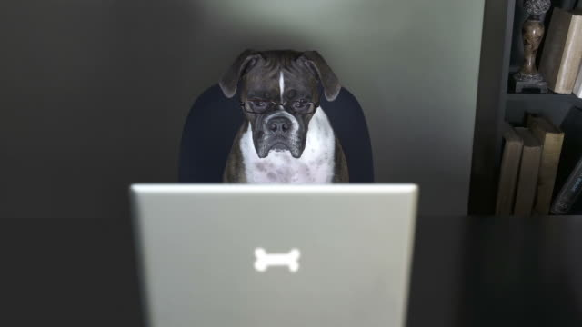 Dog watches a video in her office, with monitor flicker video