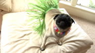 Dog wearing grass skirt and flower lei video