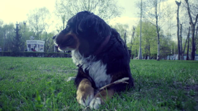 A dog with a stick in the spring park video