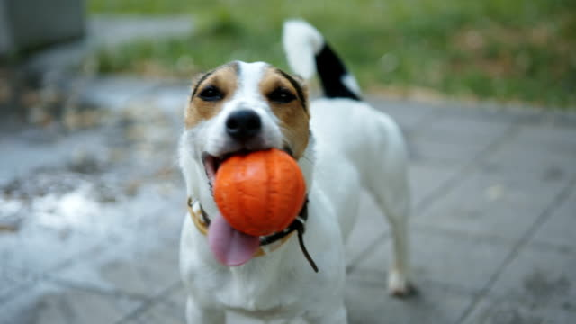 dog with ball in mouth video