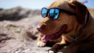 Dog with sunglass video