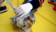 Dog Yorkshire terrier video