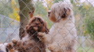 Dogs breed Havanese look out of the kennel fence, waiting for the owner video