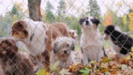 Dogs of different breeds in jail kennel or animal shelter. Look one way and bark video
