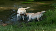 Dogs playing in the water on river video