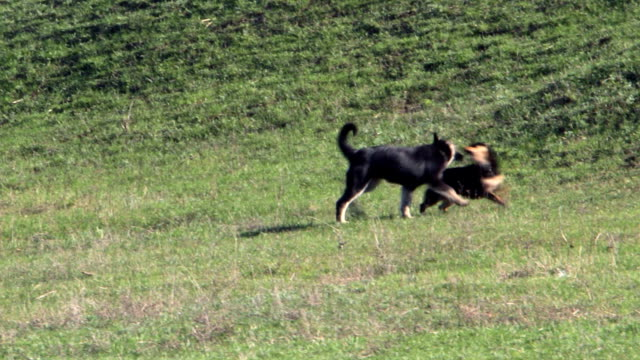 Dogs run and play video