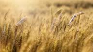 Dollar bills on wheat ears video