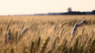 SLO MO Dollar bills rolled around wheat ears video