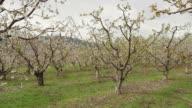 Dolly Back, Apricot Blossoms, Okanagan video