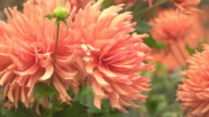 dolly: big blossom pink rose flower video