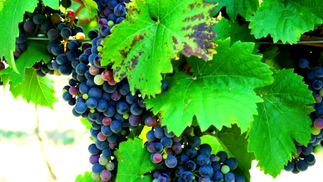 HD Dolly: Blue Grapes In Vineyard video