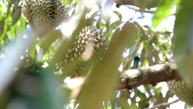 Dolly Durian on tree video